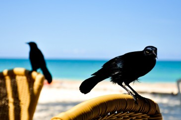 Ravens at the beach